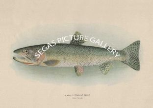 Alaska Cutthroat Trout